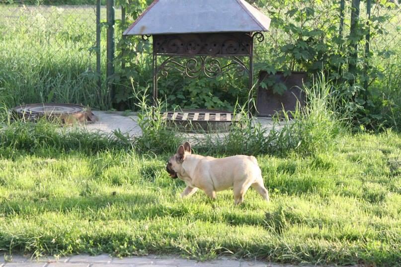 LUK DE BURBON DEL AZART DOG (1)